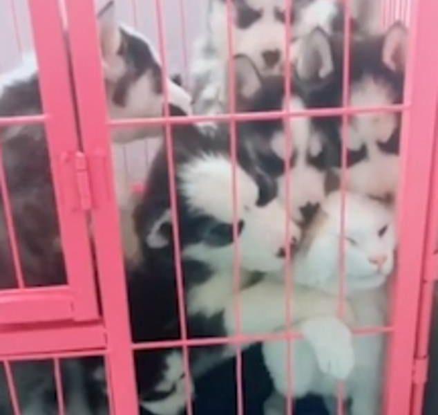 Залижут до смерти: как щенки хаски поставили кота в безвыходное положение