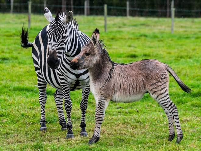 Зиппи – плод незаконной любви осла и зебры. Но милый