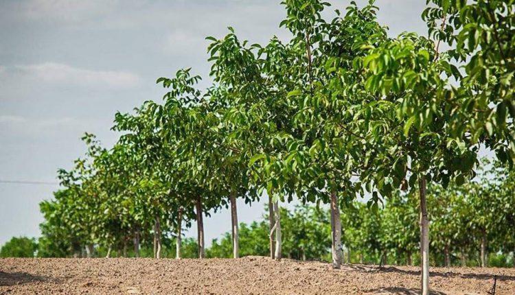 В Украине заложен первый сад ореха пекан