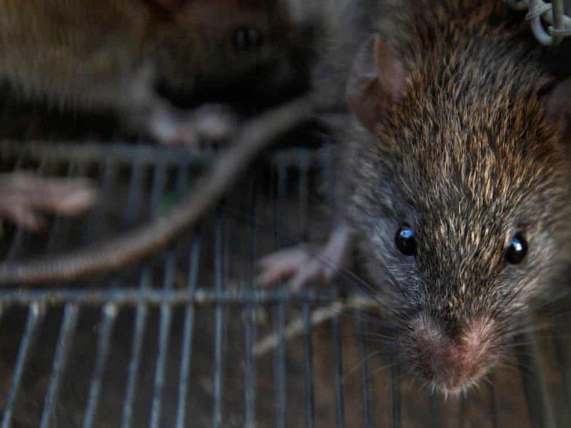 Новая напасть. Зафиксирован второй случай заражения крысиным гепатитом