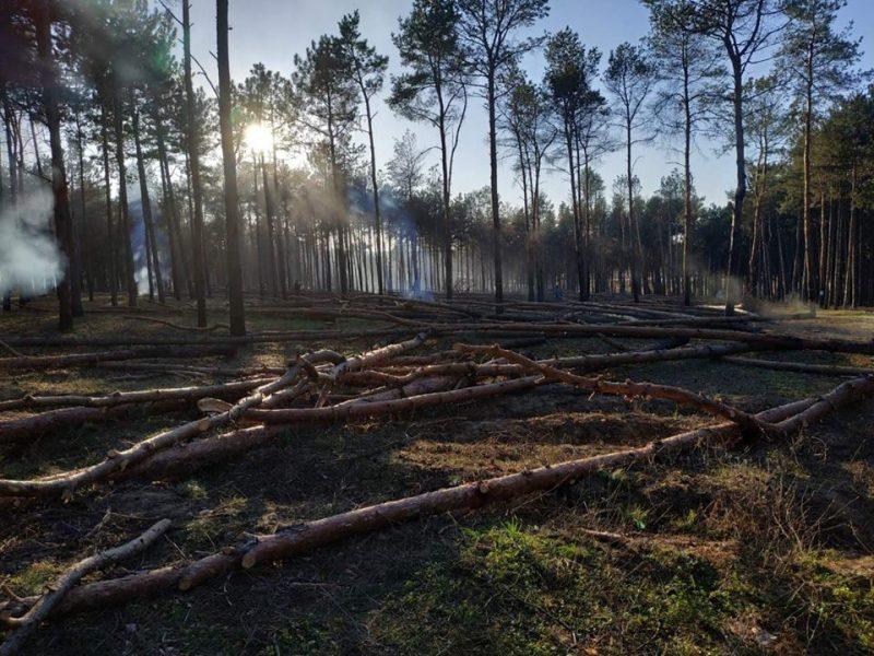 На Николаевщине вырубили около 300 сосен. В «лесхозе» говорят, что деревья аварийные, но местные жители не верят