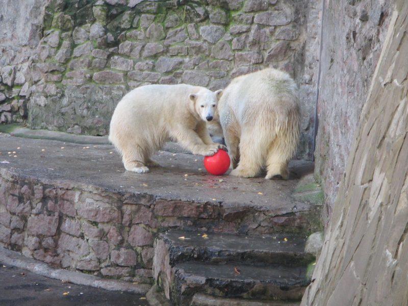 Европейцы прислали подарки белым медведям из Николаевского зоопарка. «Девушкам» они понравились, а отцу семейства придется потерпеть