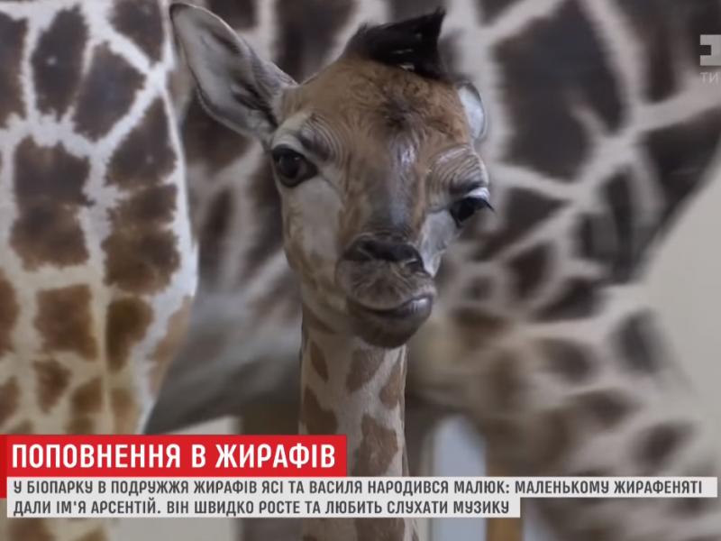 Уникальный случай для всего юга Украины. В Одесском биопарке родился детеныш жирафа
