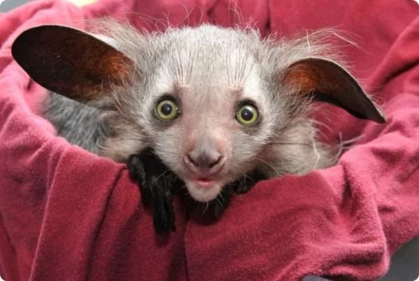 Сказочное существо. В зоопарке Денвера родилось уникальное животное – ай-ай.