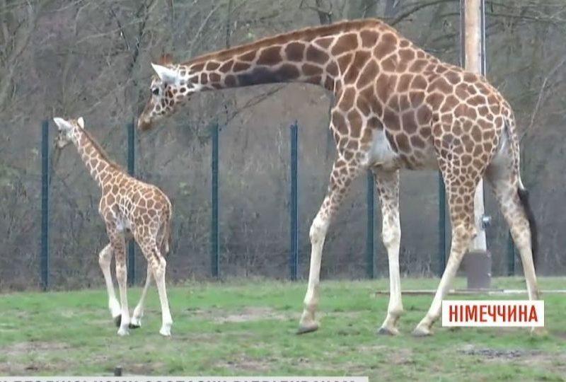 В Берлинском зоопарке показали новорожденного жирафенка
