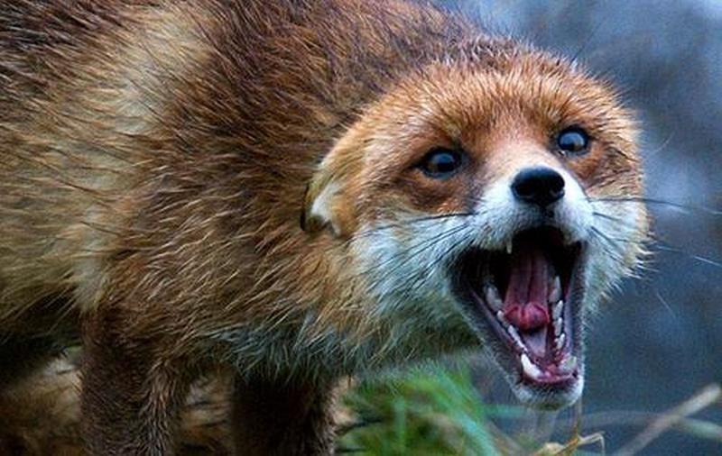 На Николаевщине с завтрашнего дня начинается вакцинация диких животных от бешенства. Люди, не трогайте приманки!