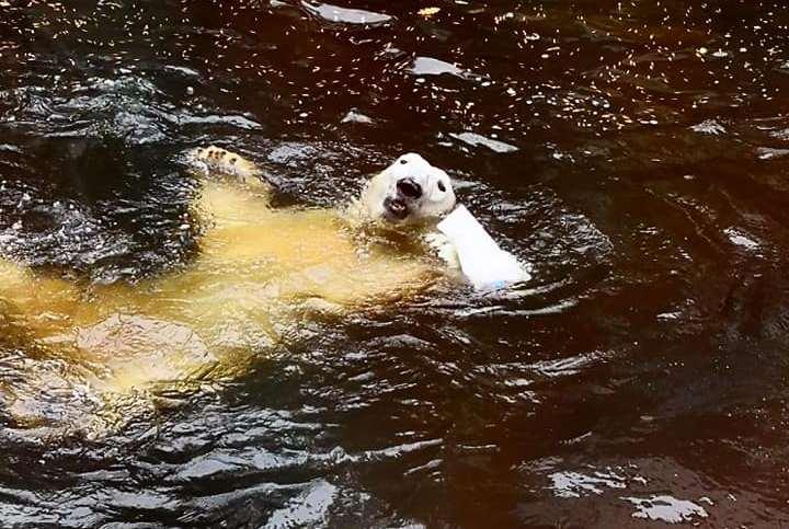 В Николаевском зоопарке отметили день рождение  белого медведя Нанука