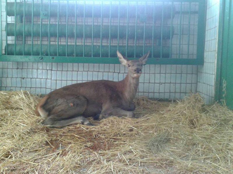 В Николаевском зоопарке сделали сложную операцию оленихе, которую сбил автомобиль на автодороге
