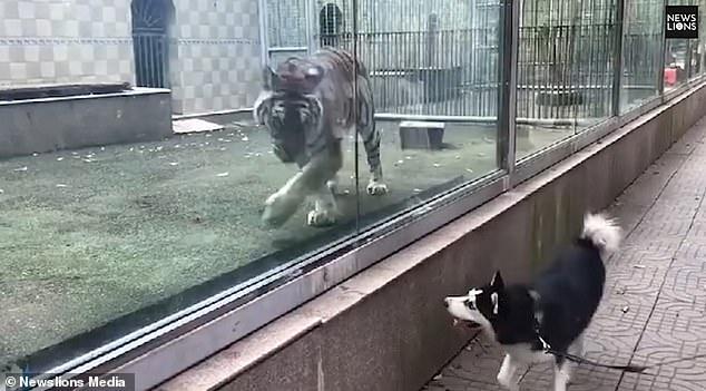 В Китае посетители зоопарка смеялись, наблюдая за «игрой» тигра и собаки, разделенных стеклом. А ведь это совсем не смешно