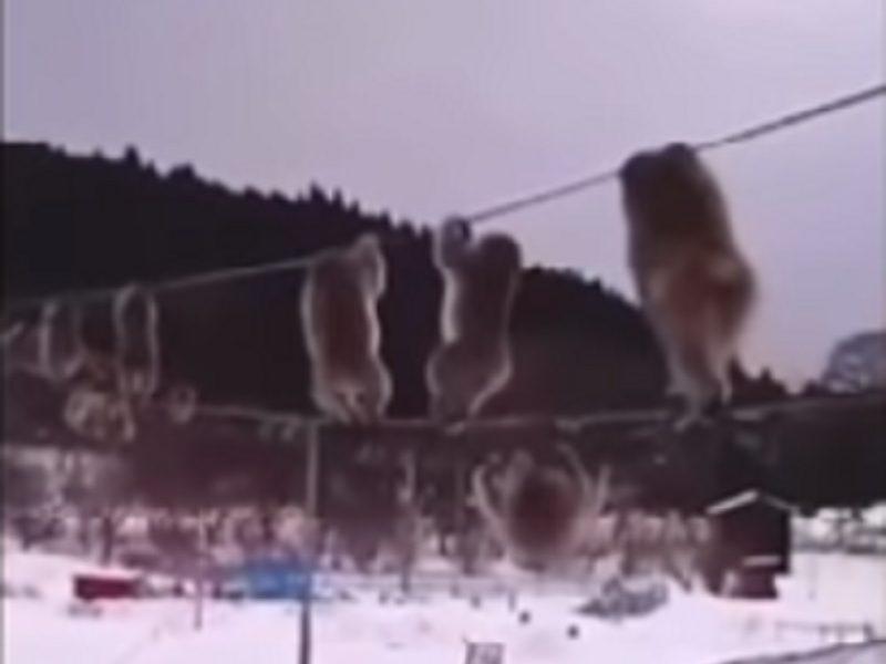 Чтобы лапки не мерзли: в заснеженной Японии обезьяны предпочитают передвигаться по электропроводам