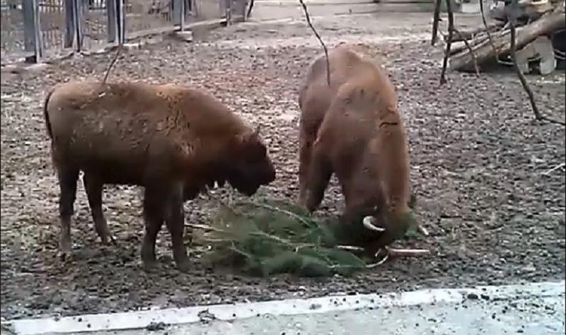 И пожевать, и поиграть: как питомцы Николаевского зоопарка используют новогодние сосны