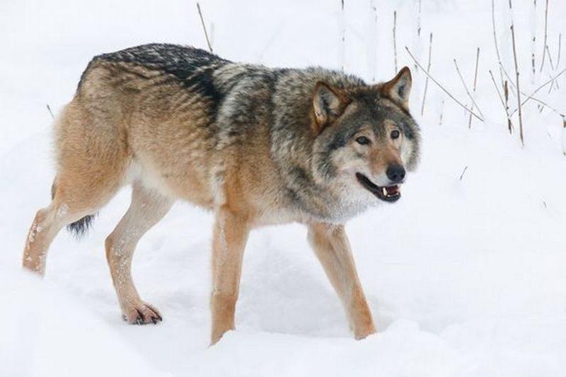 В Финляндии женщина разводила волкособов – у нее нашли более 60 животных