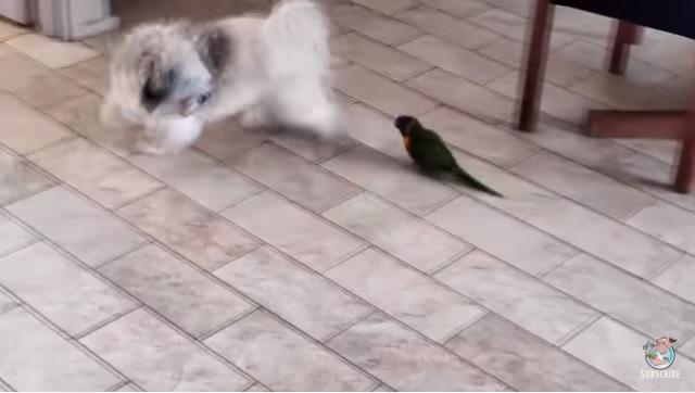 Маленький – не значит безобидный: попугай просто загонял собаку