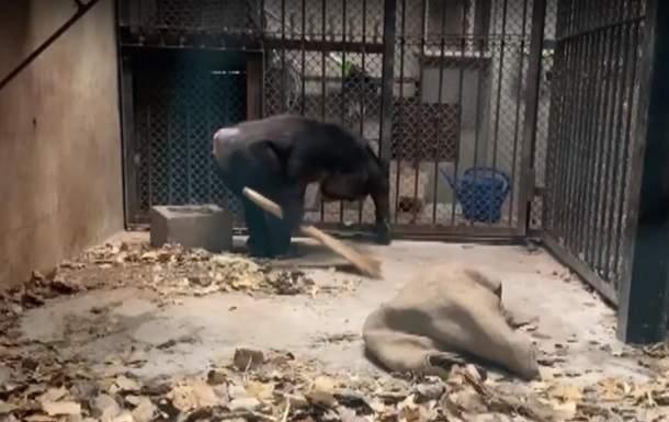 Перед обезьянами неудобно. Шимпанзе научились убирать за собой – с радостью