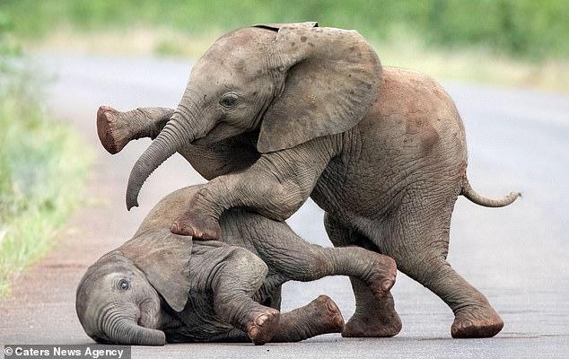 Дети – всегда дети: фотограф из Нидерландов «подсмотрела» играющих слонят