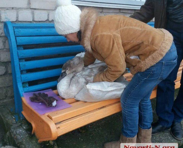 В Николаевском зоопарке выхаживают лебедя, спасенного у понтонного моста