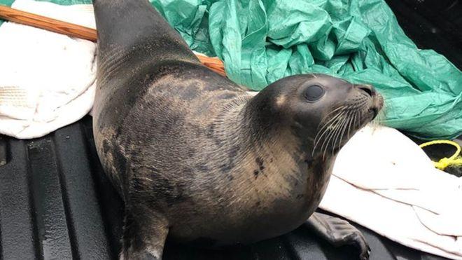 Десятки морских котиков парализовали движение в канадском городке