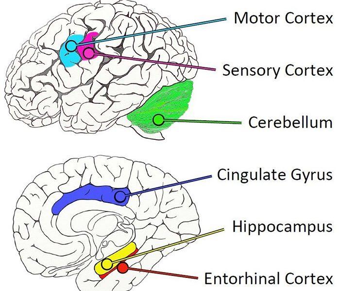 Ученые нашли «невосприимчивый» к болезни Альцгеймера участок мозга