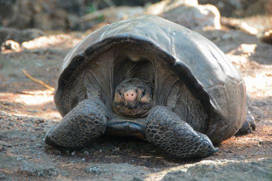 На Галапагосских островах нашли черепаху, которую 100 лет считали вымершей