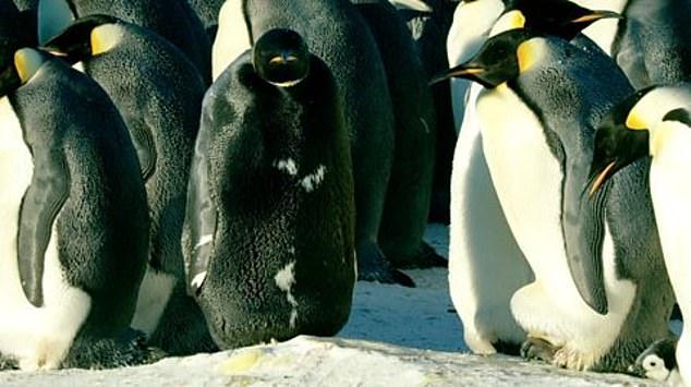 В Антарктике на видео сняли абсолютно черного пингвина