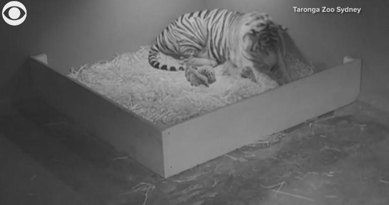 Трое суматранских тигрят появились на свет в зоопарке Сиднея