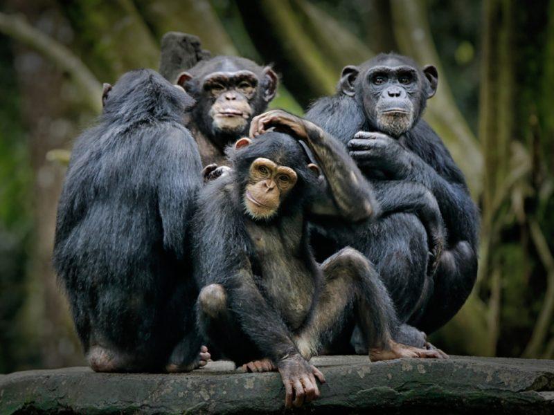Сообразительные: шимпанзе сбежали из ирландского зоопарка, соорудив из поломанных веток «лестницу»