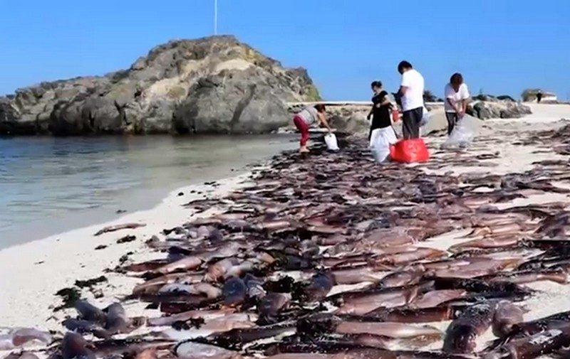 Кладбище каракатиц. На пляже в Чили обнаружили тысячи мертвых моллюсков