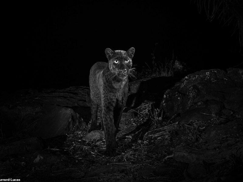 Впервые за 100 лет в Африке сфотографировали черного леопарда