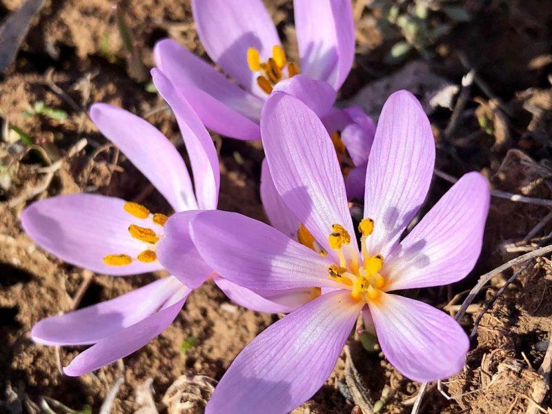 Весна близко. На склонах Тилигульского лимана распустились первоцветы
