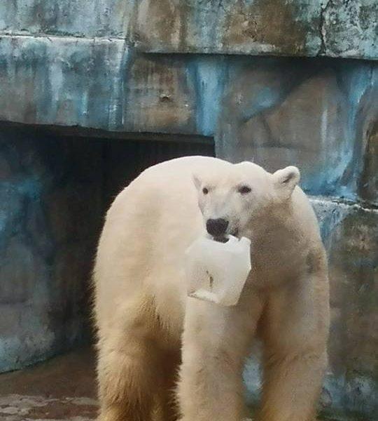 Белые медведи из Николаевского зоопарка отмечают сегодня свой день и ждут подарков из сверхпрочного пластика