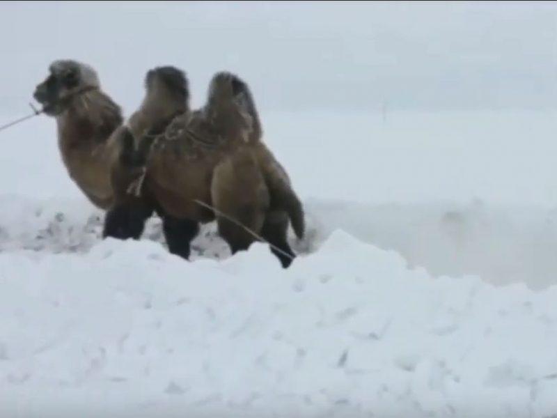 Ну, и кто внедорожник? Застрявшую в снегу Ниву вытащил…верблюд