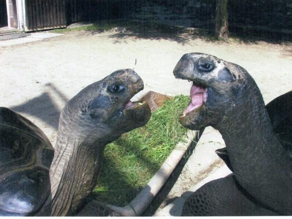 В Австралии разошлась пара черепах, которая встречалась почти 100 лет