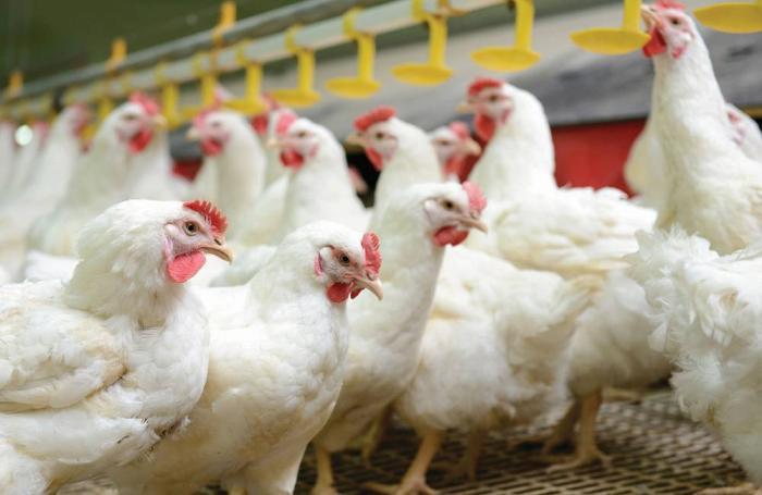 В Японии обнаружили вспышку птичьего гриппа, уничтожено 2 млн кур