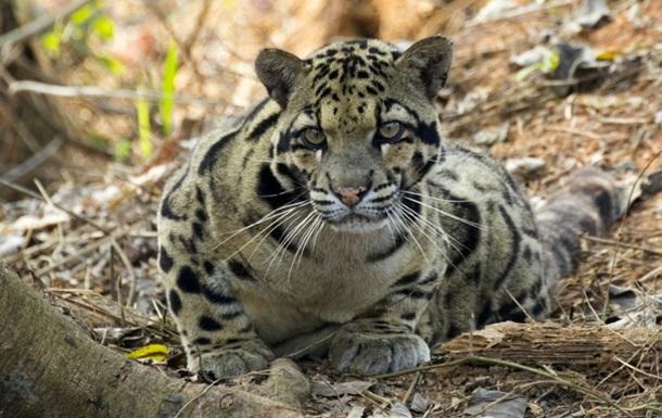Туристы сняли охоту леопарда на дикого кота (ВИДЕО)