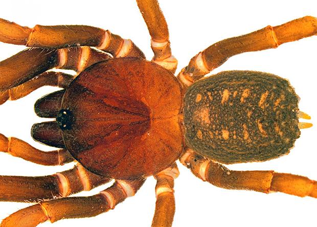Новый вид пауков назвали в честь штурмовиков из «Звездных войн»