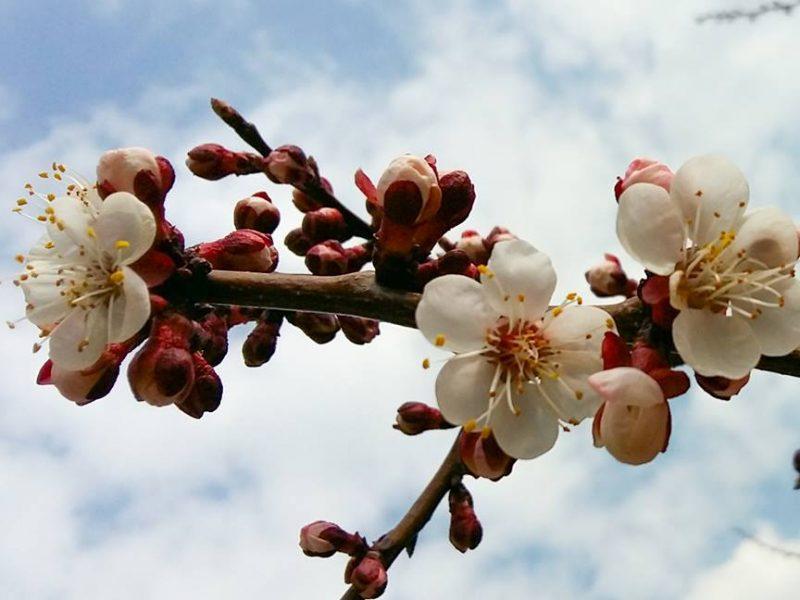 Совсем рядом с нами: в Татарбунары пришла весна – зацвела абрикоса