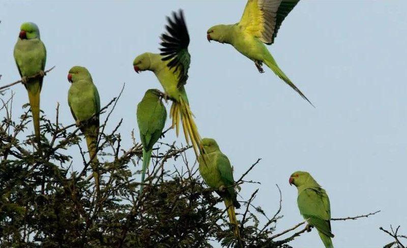 В Индии фермеров терроризируют попугаи-наркоманы