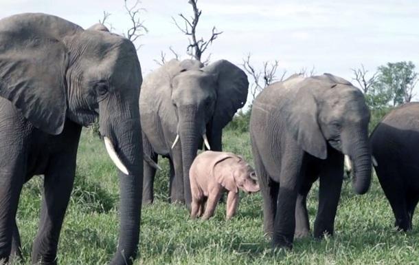 Дитя заката, и это не фламинго: в ЮАР нашли розового слоненка