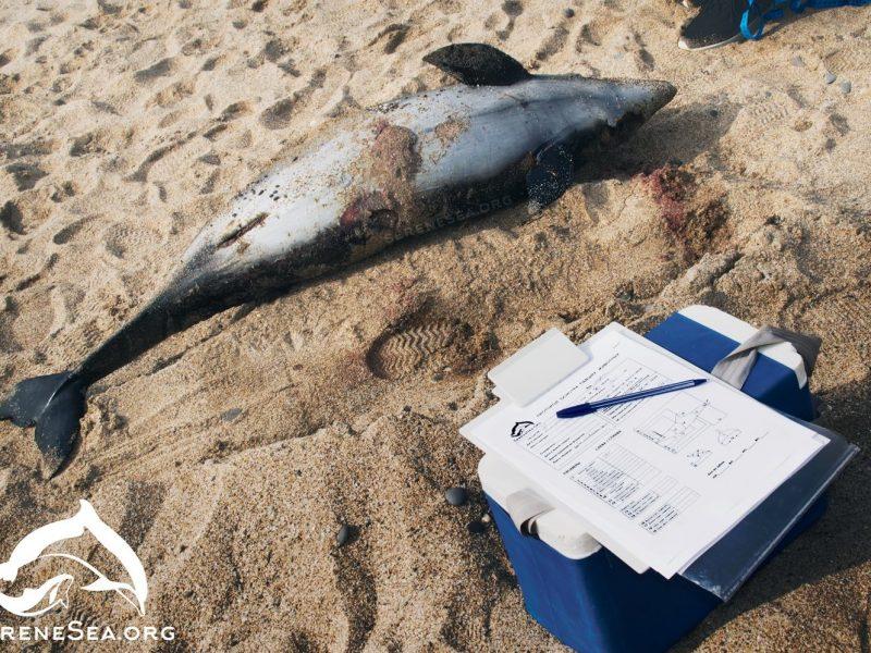 Возле берегов оккупированной Евпатории массово гибнут дельфины