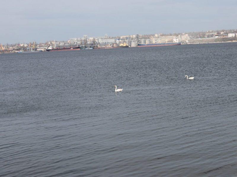 «Люди, опомнитесь!» На Николаевщине местные жители стреляли в лебедей