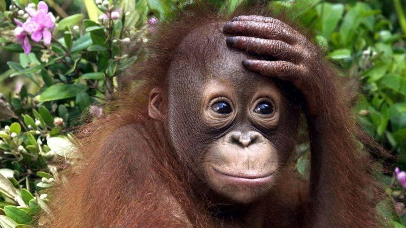 В Индонезии задержали россиянина, который пытался вывезти орангутанга в чемодане