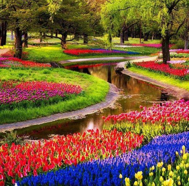 Миллионы тюльпанов зацвели в Нидерландах