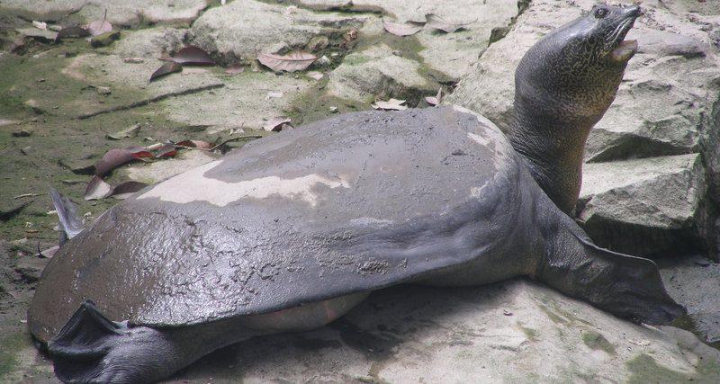 После попытки искусственного оплодотворения умерла последняя на Земле самка гигантской пресноводной черепахи