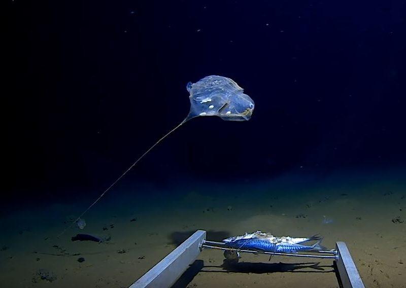 Ни на что не похоже. На дне Индийского океана обнаружили загадочное существо