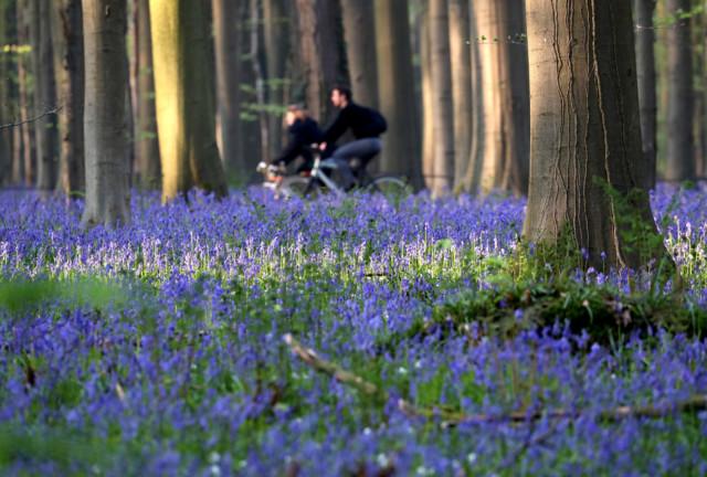 В Бельгии зацвел знаменитый Синий лес