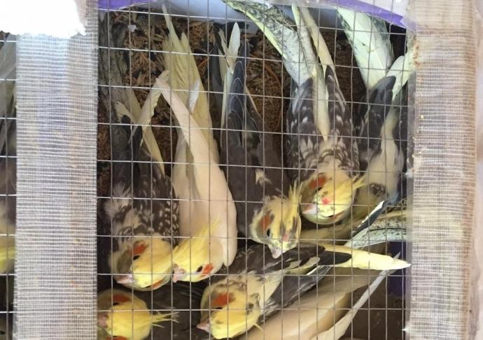 В Беларуси спрос на попугаев? Украинец нес через границу аж 150 птиц