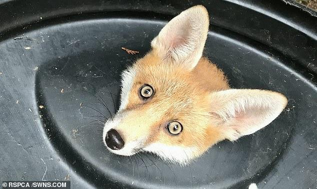 В Лондоне крышка мусорного ведра «взяла в плен» молодую лисицу (ФОТО)