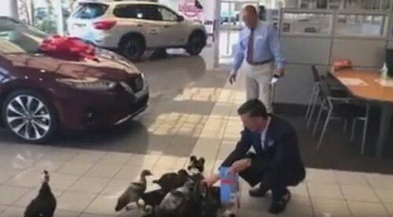 Маме-утке удалось посадить на шею свой выводок сотрудникам автосалона Nissan (ВИДЕО)