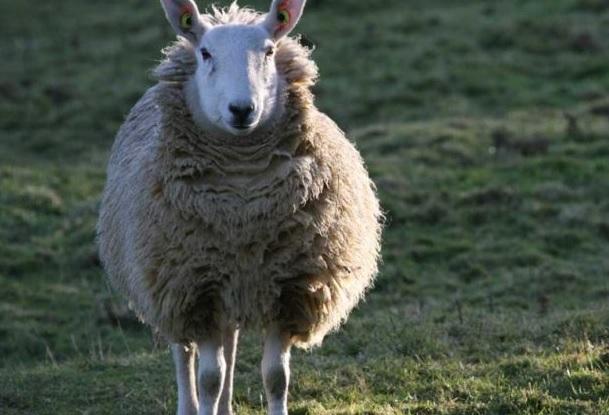 Брюссельский аэропорт нанял 100 овец для подравнивания травы