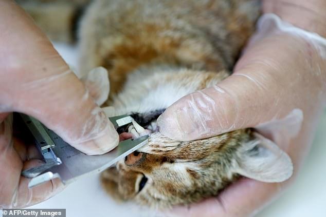 На Корсике нашли новый вид кошачьих, получивший у местных пастухов прозвище «кошка-лиса» (ФОТО)